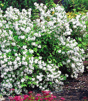 Garten-Jasmin u0027Snow Gooseu0027 immergrün Pinterest Blühende - gartenstraucher immergrun winterhart