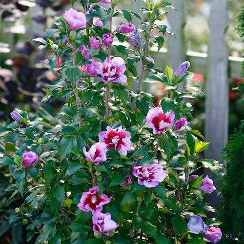 37 of the Best Hibiscus Varieties is part of Rose of sharon, Types of purple flowers, Purple flowers, Hibiscus, Purple flowering plants, Growing hibiscus - With huge, colorful blooms there's nothing quite like hibiscus to enchant your garden  Learn about 37 of our favorite hibiscus varieties on Gardener's Path