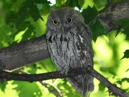My neighborhood is full of screech owls. They make tons of noise at night, but now I find that it's hard to sleep when I don't hear them. I think about what a pet one would be like sometimes.