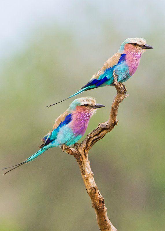 Lilac Breasted Rollers Lilac Breasted Roller Beautiful Birds Cute Birds