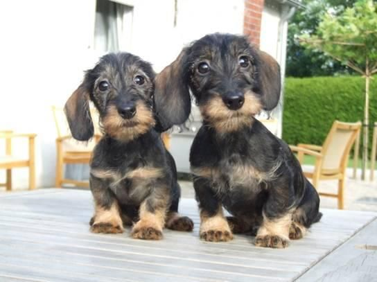 Miniature Wire Haired Dachshund Puppies For Sale Zoe Fans Blog