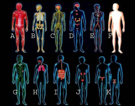 The 11 organ systems of the human body work together to maintain ...