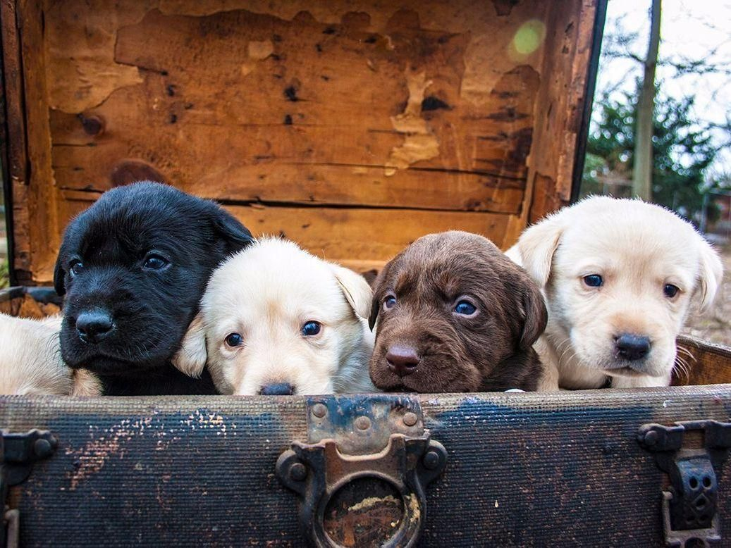 Mcclan Labradorswe Are A Family Run Kennel That Loves Our Dogs It