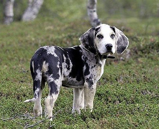 The Speckled Norway Dunker Dog