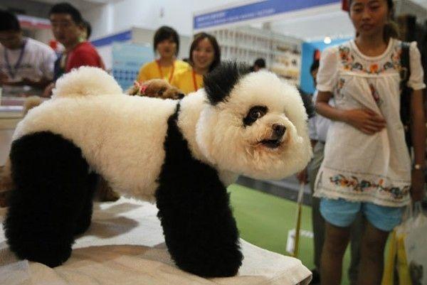 10 Dogs That Look Like Pandas Bichon Frise Panda Dog Panda Puppy