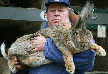 The British Giant rabbit is a large breed rabbit reaching around 13 lbs (6 kg). Description from pixgood.com. I searched for this on bing.com/images