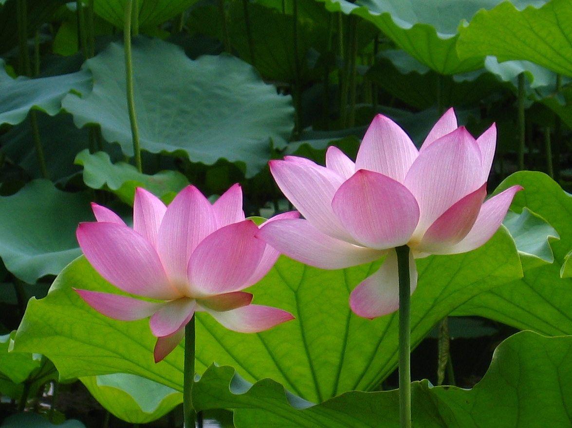 Happy birthday lotus google search birthday graphics pinterest lotus mightylinksfo