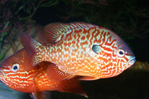 Related keywords suggestions for small sunfish for Outdoor goldfish for sale