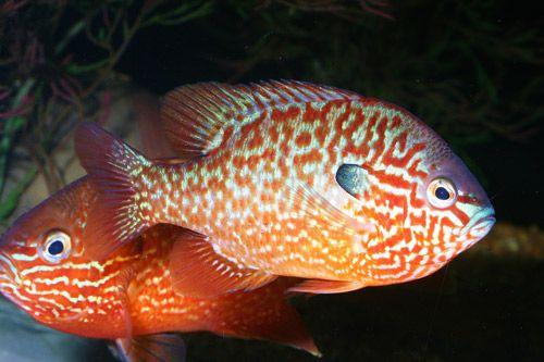 North American Native Fishtanks • Sunfish of the Genus