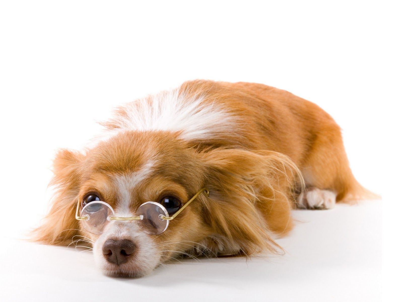 Funny Dog Wearing Glasses Wallpaper Background 6508