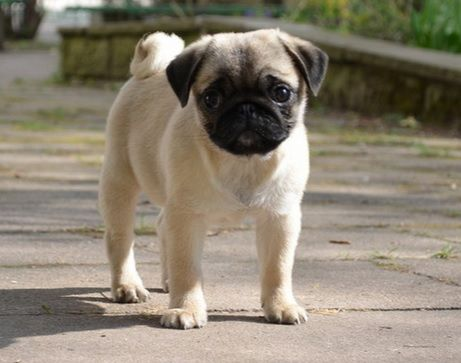 Cute Pug Puppy For Puppy Fridays From Underdog Rescue Of