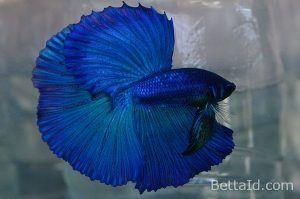 1010+ Gambar Ikan Cupang Warna Biru Terbaik