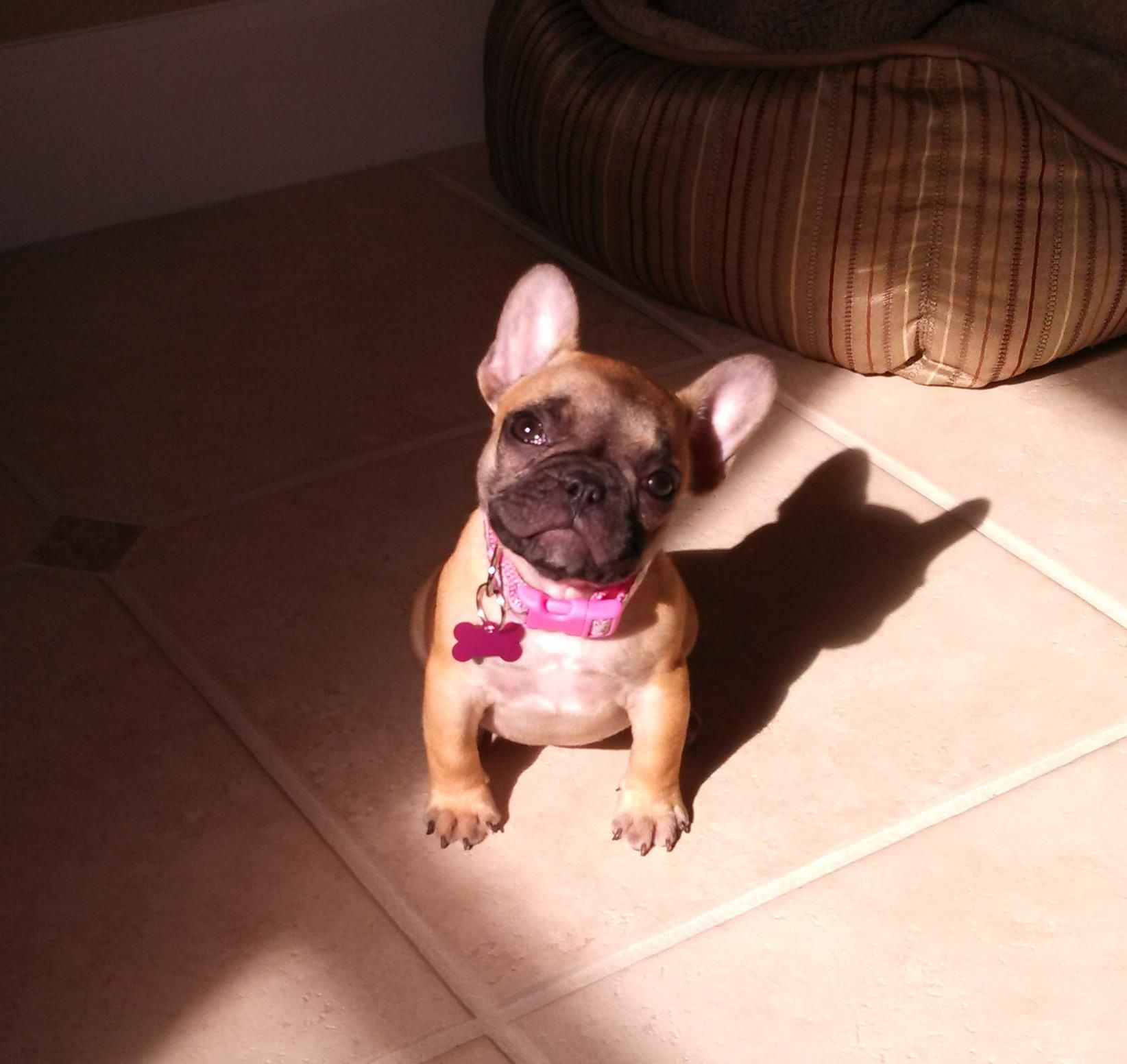 my baby girl Frenchie.  Such a sweetheart!