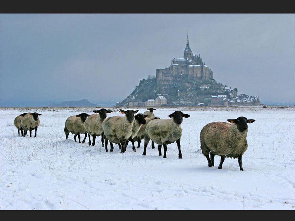 Mont Saint Michel sous la neige - France - Les moutons à têtes noires !!