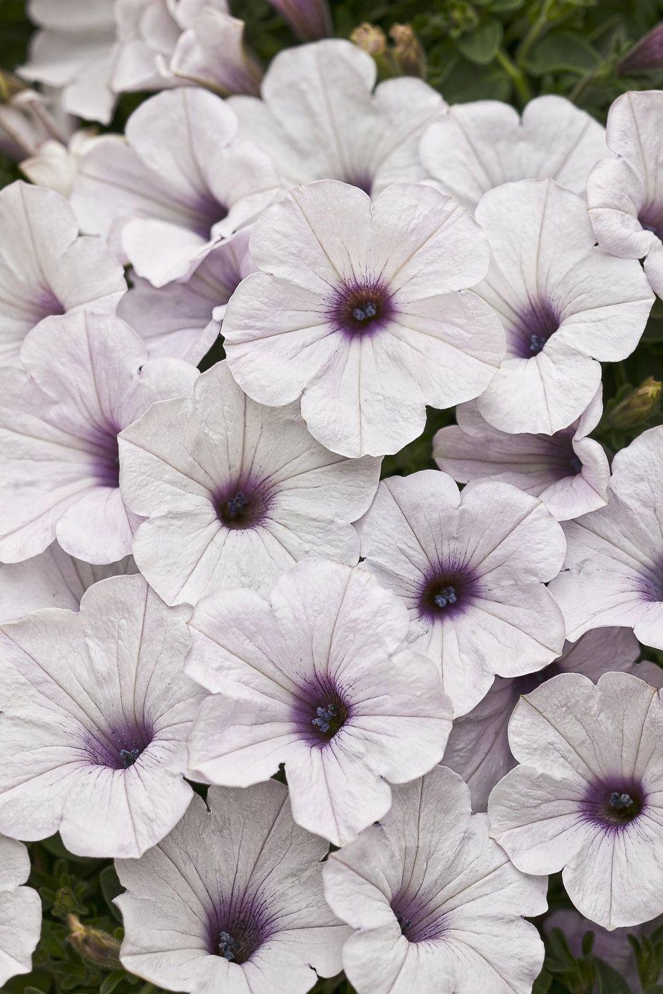 Supertunia Trailing Silver Petunia Hybrid Petunia Flower