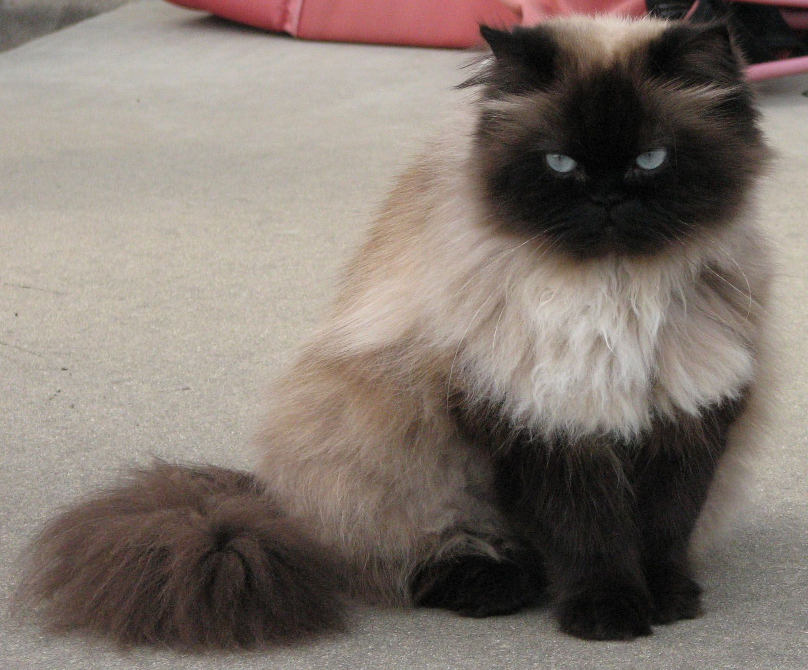 Seal Point Himalayan Beautiful cats, Cat breeds, Pretty cats