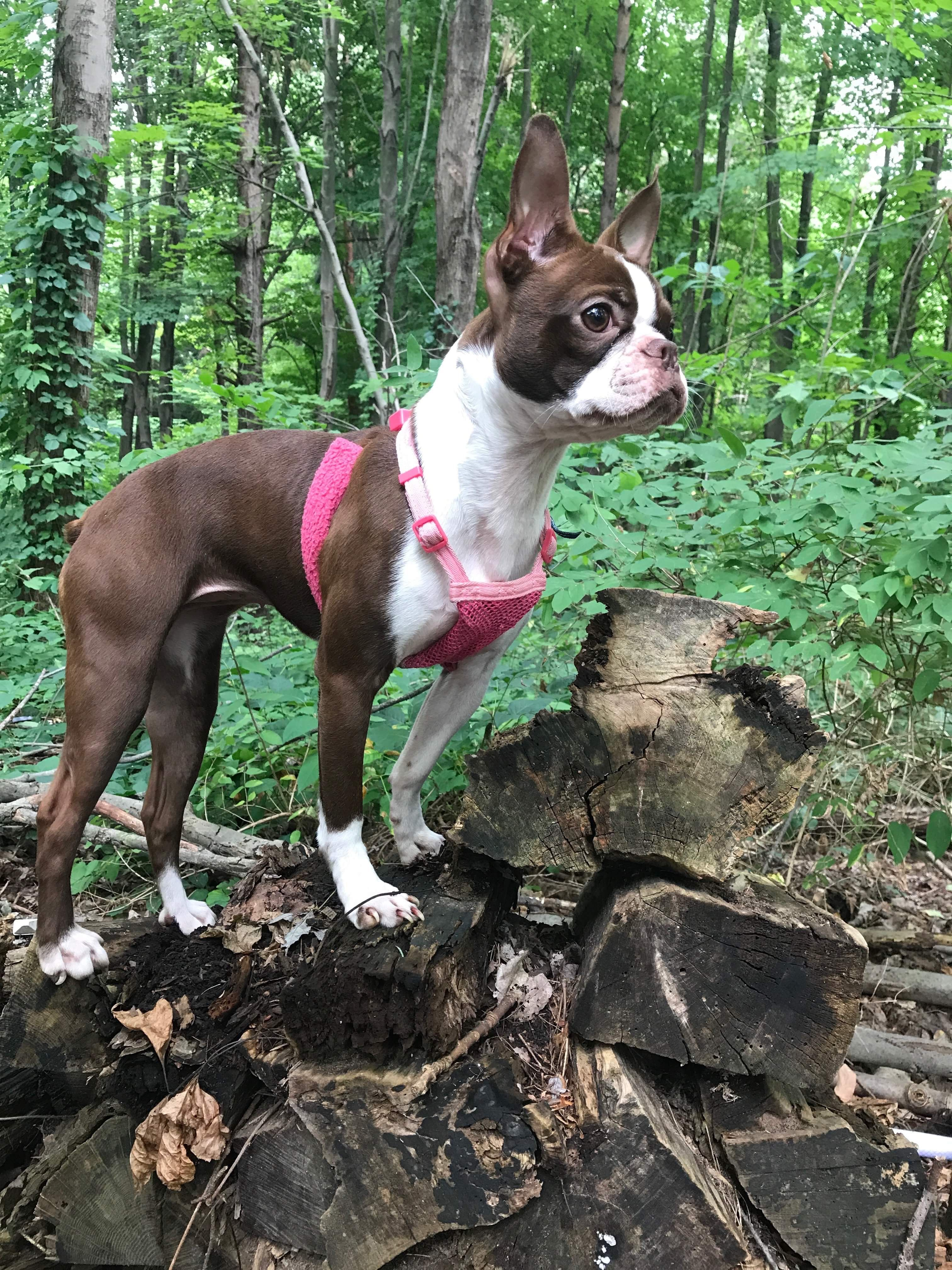 Adventure Dog, Ellie May in the Ohio woods. Boston