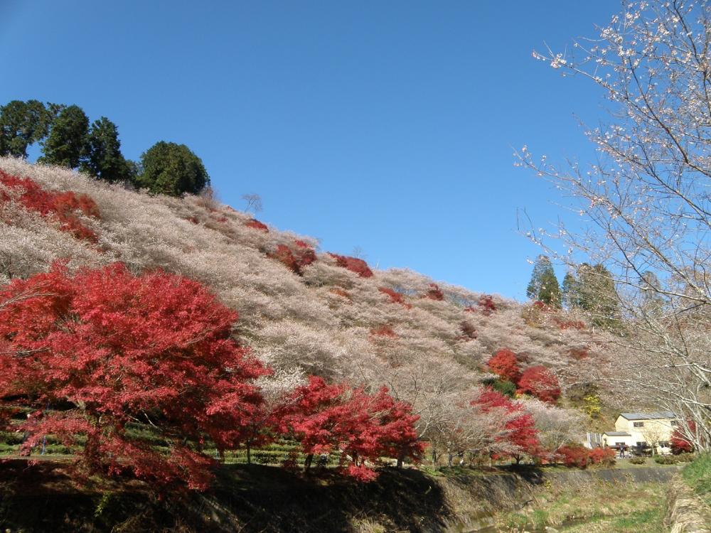 Korankei Gorge Vs Obara Shikizakura Toyota City S Utterly Popular Spot For Autumn Leaves En 2020 Japon