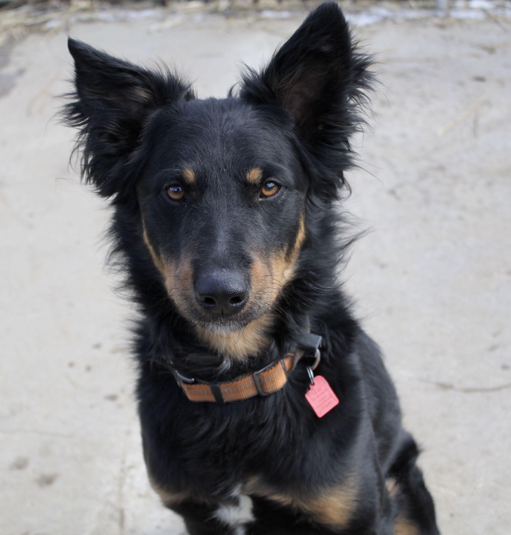 Adopt Gus on Australian shepherd, Dogs, Working dogs