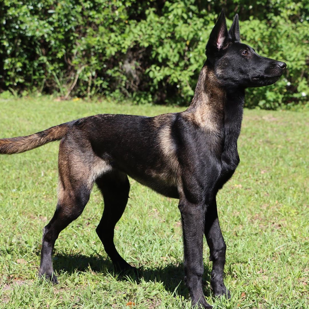 One Of The Pups We Produced In Our Last Litter In 2020 Malinois Dog Belgian Malinois Dog Malinois Puppies