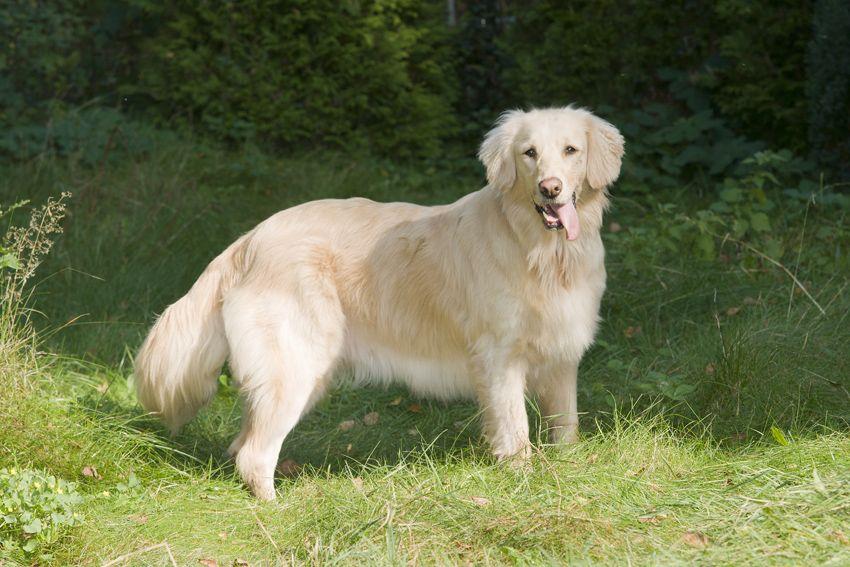 Flatcoated Retriever Flat Coated Retriever Retriever Losing A Dog