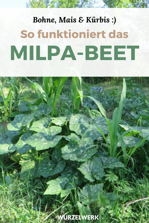 Die Milpa Und Ihre Geheimnisse Mischkultur Von Mais Kurbis Und Bohnen Kurbisgarten Mischkultur Und Kurbis Anpflanzen