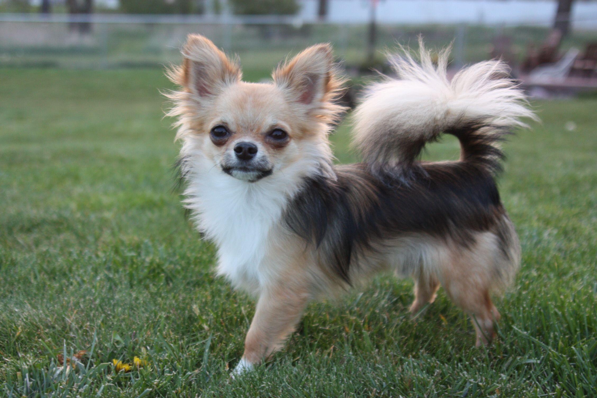 Black Sabled Fawn Chihuahua Chihuahua Cute Chihuahua