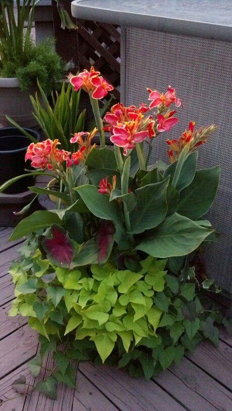 canna lily 2 varieties of sweet potato vine caladium vigorous flowers planters. Black Bedroom Furniture Sets. Home Design Ideas