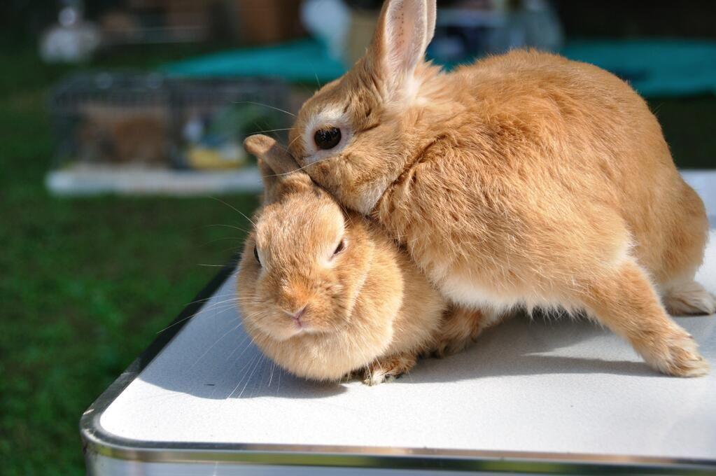 2 Twitter Dwarf Bunnies Cute Bunny Animals