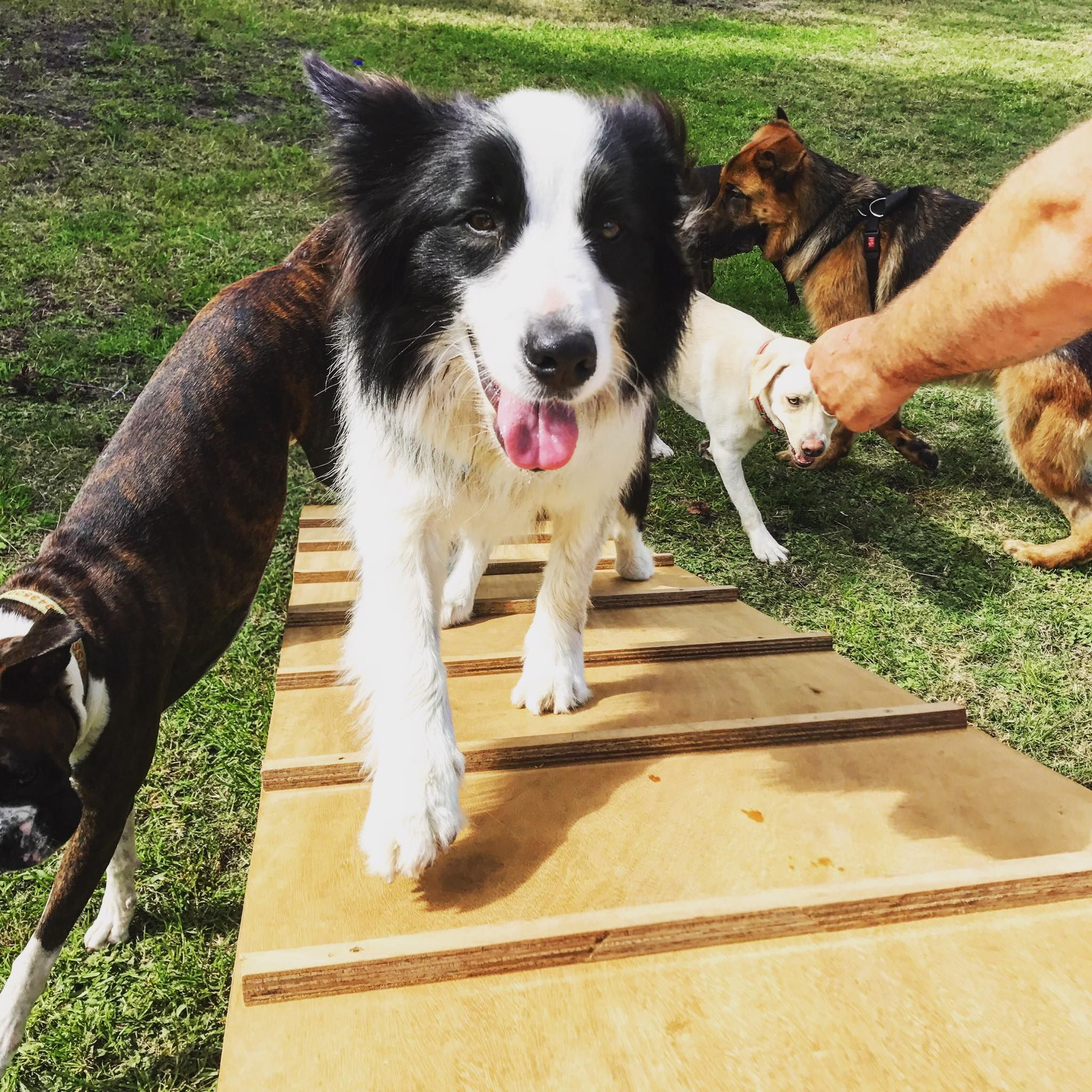 Mac (Border Collie) walking confidently up the balance beam at the Doggy Playground at the Farm