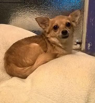 Adopt Silly Lily on Yorkshire terrier, Chihuahua mix, Yorkie