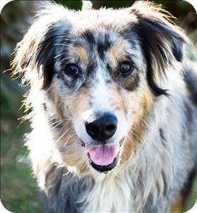 Escondido Ca Australian Shepherd Mix Meet Dax A Dog For Adoption Australian Shepherd Pets Dog Adoption