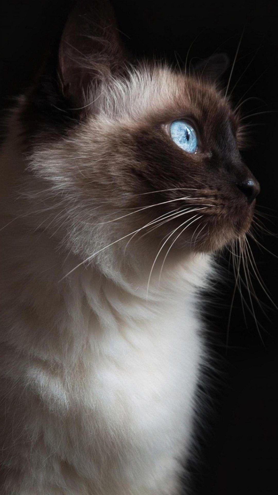 20 Iphone Siamese Cat Wallpaper In 2020 Cat Wallpaper Siamese Cats Cat Background