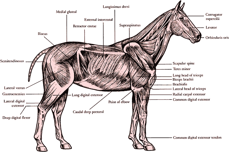 The anatomy! | Equus | Pinterest | Anatomy, Horse and Livestock
