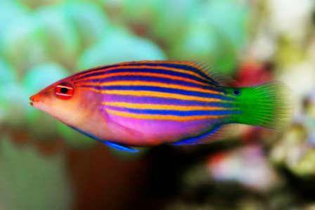 Pin By Virginia Keramidas On Tank Life Wrasse Salt Water Fish Saltwater Tank