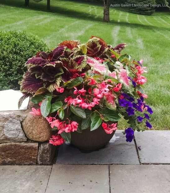 Summer Container Garden With Coleus Dragon Wing Begonias Caladium And Wave Petunias Container Plants Planter Design Plant Design