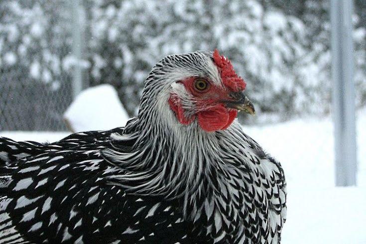 amazing chickens breeds Part - 10: amazing chickens breeds design ideas
