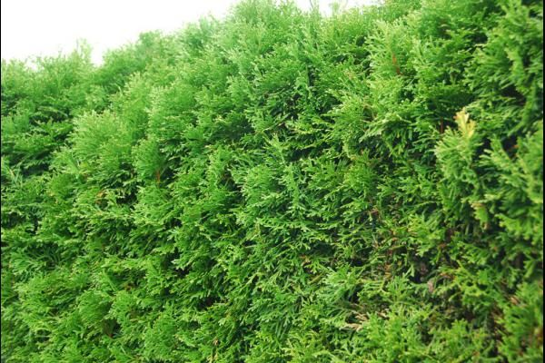 Thuja Occidentalis Smaragd Westerse Levensboom Smaragd Dvor