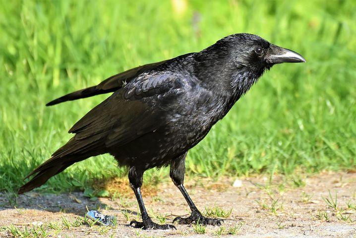 Gratis bilde på Pixabay Ravn, Ravn Fugl, Crow, Bird