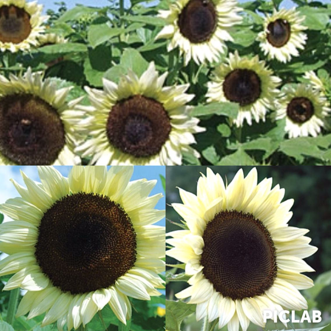 White sunflowers!! Yay!! I sooo would love to incorporate these into my wedding. A little reminder for my grandma:-)