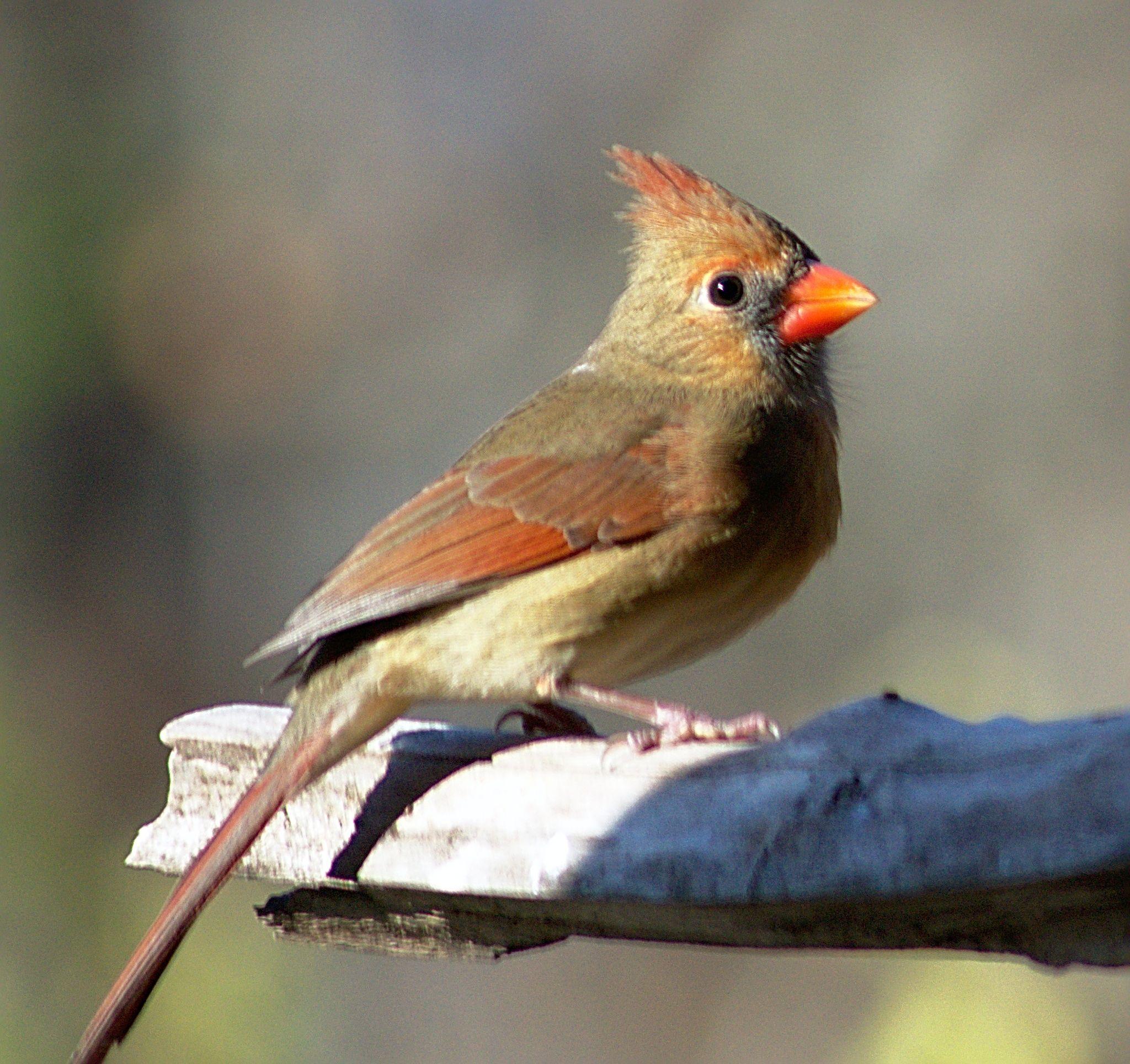 Female Cardinal Bird Pictures Cardinal Pictures Beautiful Birds