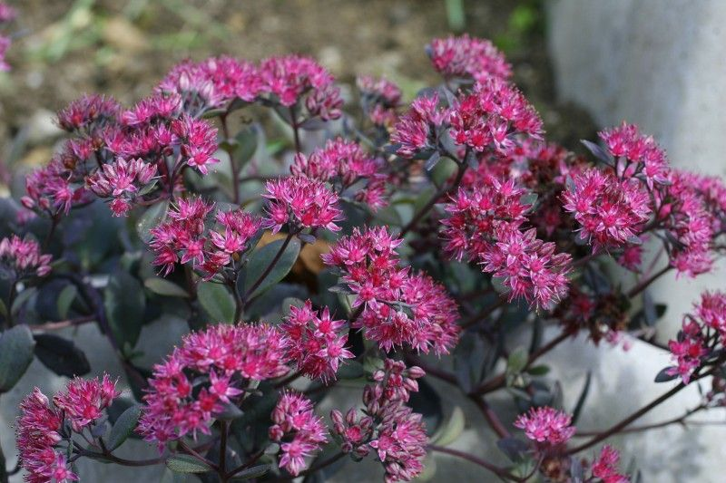 Sedum Ruby Glow 25cm Plants Foliage