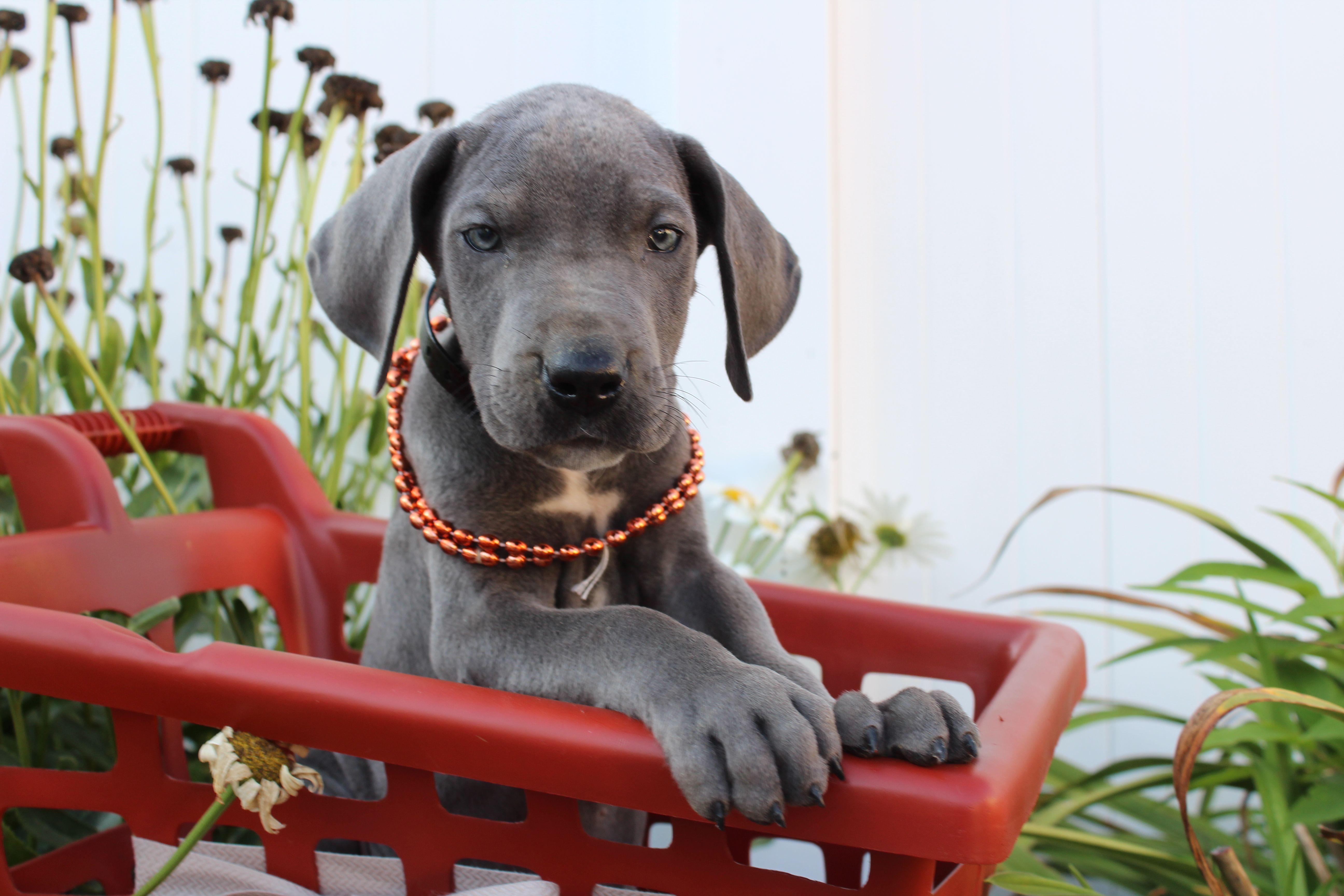 Puppies for Sale Great dane puppy, Puppies, Dog breeder