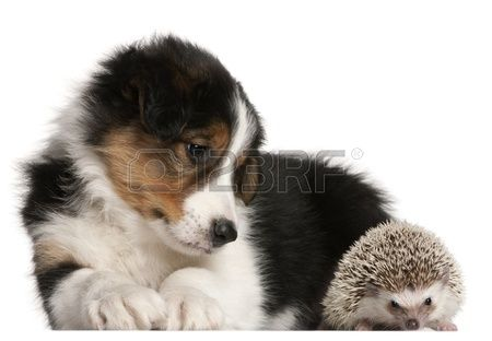 Border Collie puppy 6 weeks old playing with a hedgehog 6 months old in front of white background Stock Photo