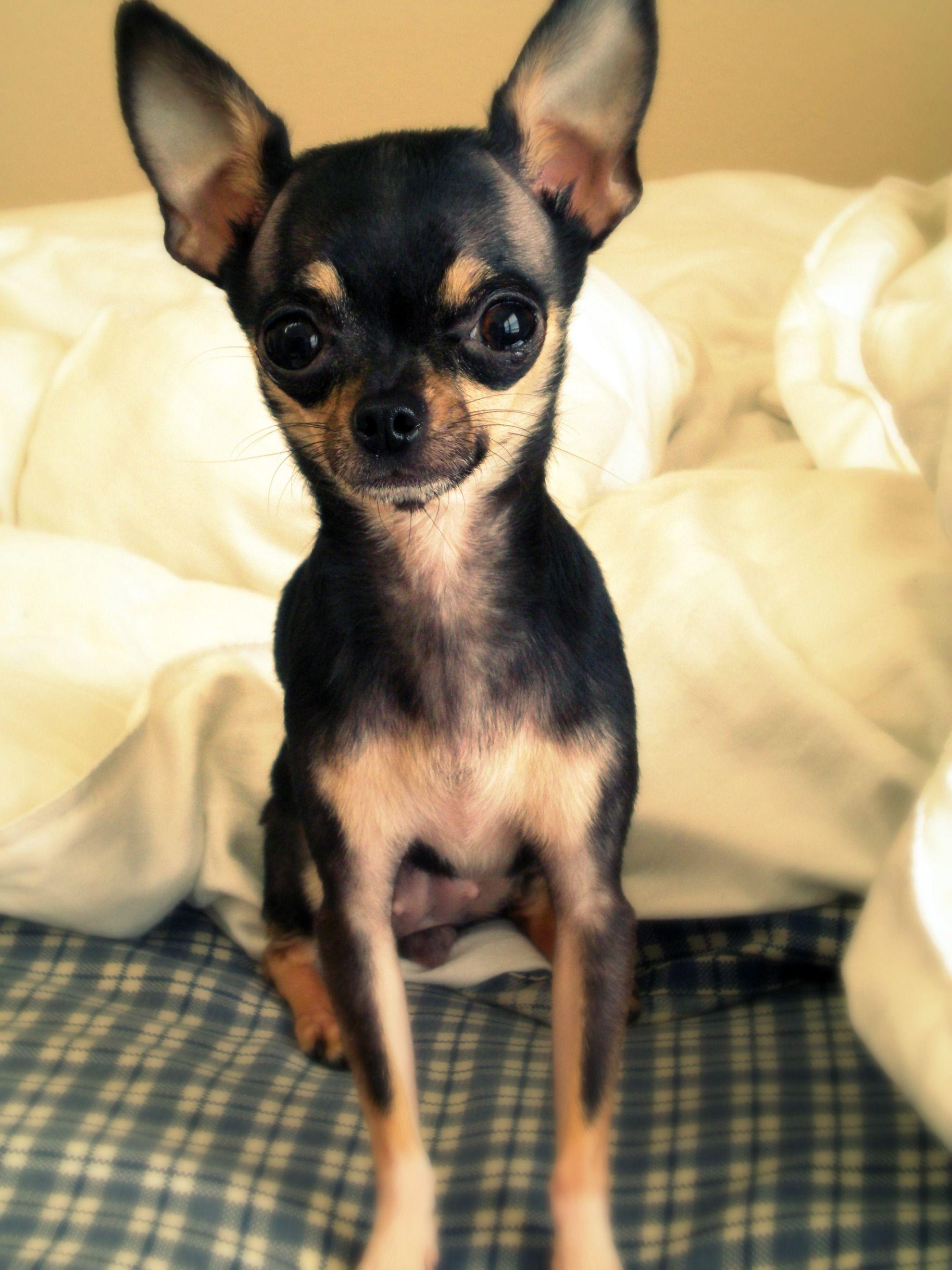 Miss Bella Luna My 2 5 Lb Baby Cute Chihuahua Chihuahua Love