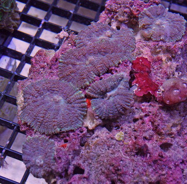 Mushroom Corals Corals For Sale Corals For Sale Stuffed Mushrooms Coral