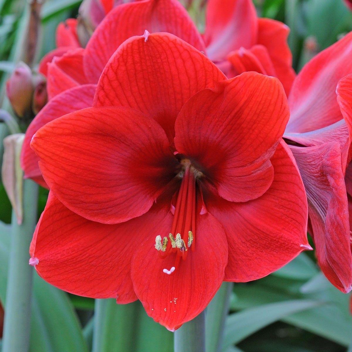 Die Amaryllis Red Label Uberzeugt In Vielerlei Hinsicht Sie Wachst Immer Gut Bluht Reichlich Und Bietet Ein Traditionelles Amaryllis Blumen Blumenzwiebeln