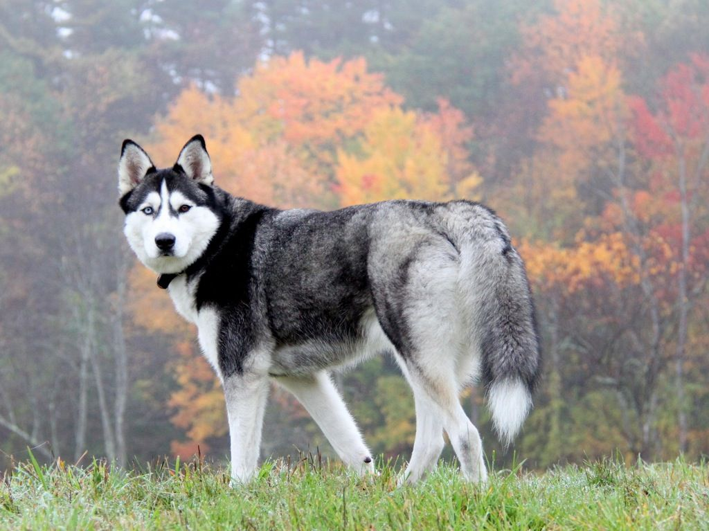Who Will Not Like A Two Different Colored Eyes Husky Husky