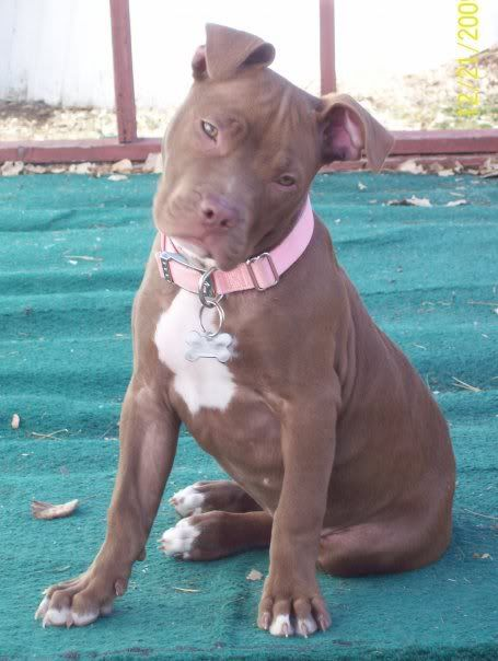 Chocolate Red Nose Pitbull Photo By