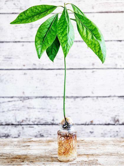 avocadokern einpflanzen so einfach geht 39 s pflanzen pflanzen avocado kerne und garten. Black Bedroom Furniture Sets. Home Design Ideas